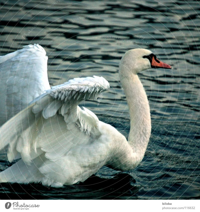 Look here, kid! Swan Poultry Soft Bird Body of water Lake Rutting season Effort Fight Animal Animalistic Swan Lake White Anger Aggravation Power Force Feather