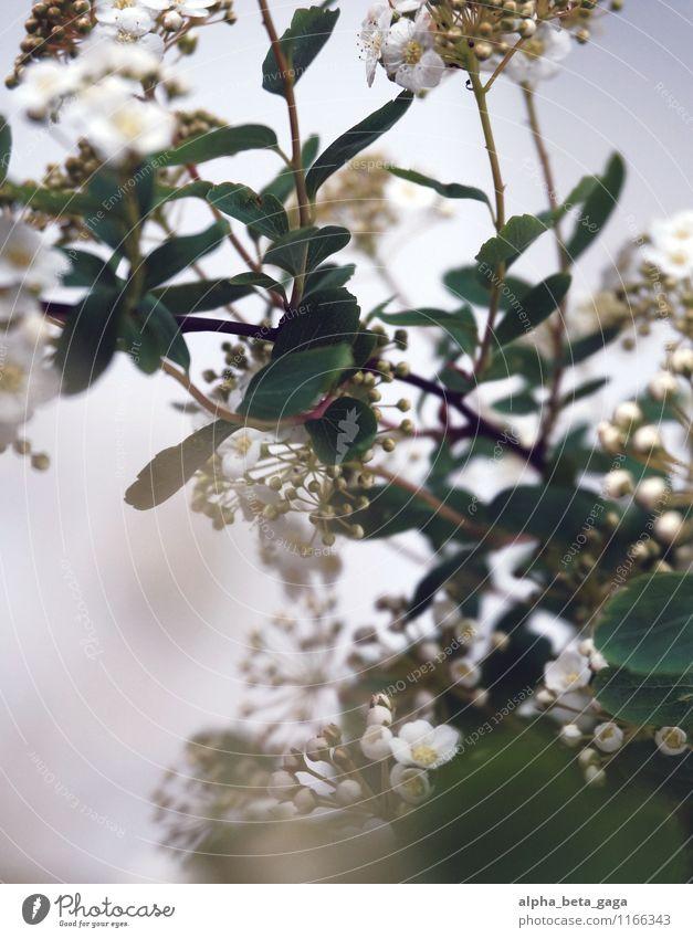 tentative insights Nature Plant Spring Blossom Wild plant Elder Bouquet Decoration Wedding Happy Spring fever Together Love Fragrance printemps Elderflower