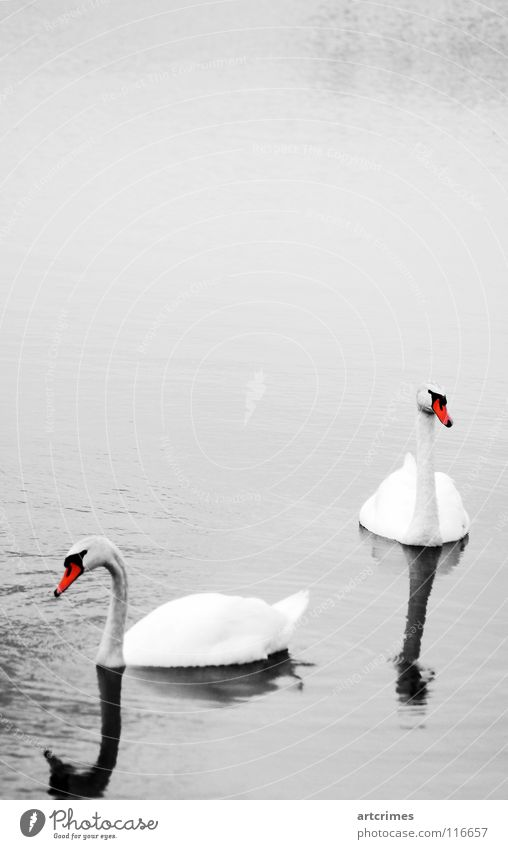 togetherness Bird Lake Autumn Black White Red Gray Emotions Reflection Affection Exterior shot Love Calm waterfowl Water Shadow Beautiful Graceful Contrast