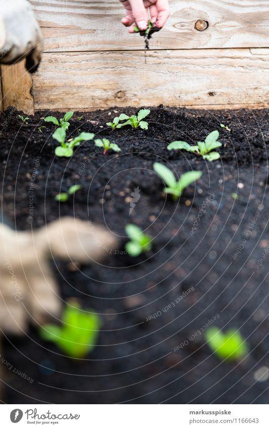 raised bed urban gardening Food Lettuce Salad Organic produce Vegetarian diet Diet Slow food Healthy Eating Life Well-being Leisure and hobbies