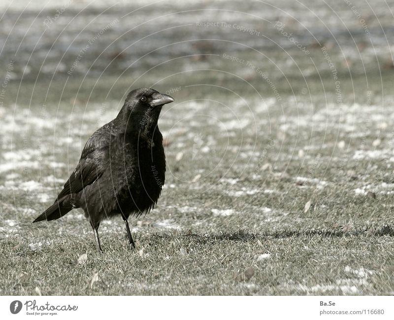 ...discovered what? Raven birds Animal Bird Stuttgart Park Black Grass Exterior shot Portrait photograph Germany Landscape