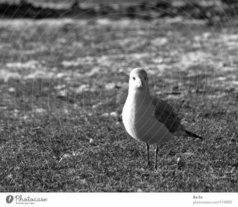 What's up? Seagull Animal Bird Stuttgart Park White Grass Exterior shot Portrait photograph Germany Landscape
