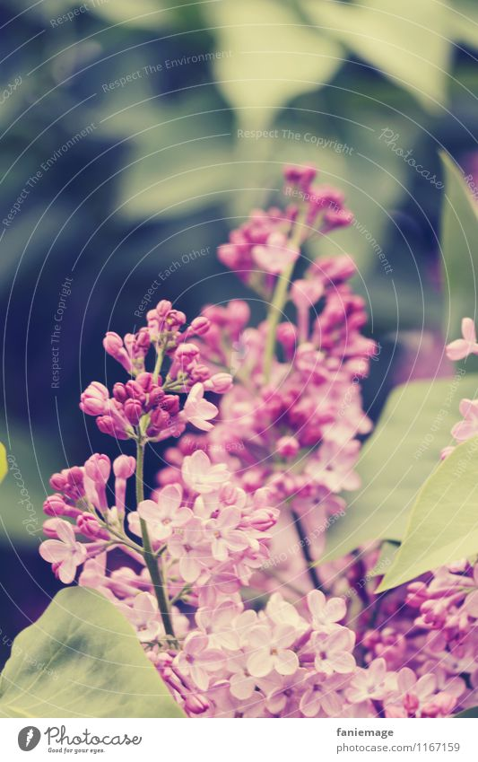 lilac Environment Nature Plant Leaf Blossom Garden Park Fragrance Beautiful Lilac Pink Violet Twigs and branches Dark green Bright green Spring fever Spring day