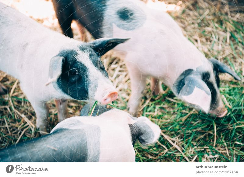 Spotted pigs outdoors Meat Nutrition Healthy Healthy Eating Nature Plant Grass Animal Farm animal Animal face Petting zoo Swine Piglet 3 Group of animals