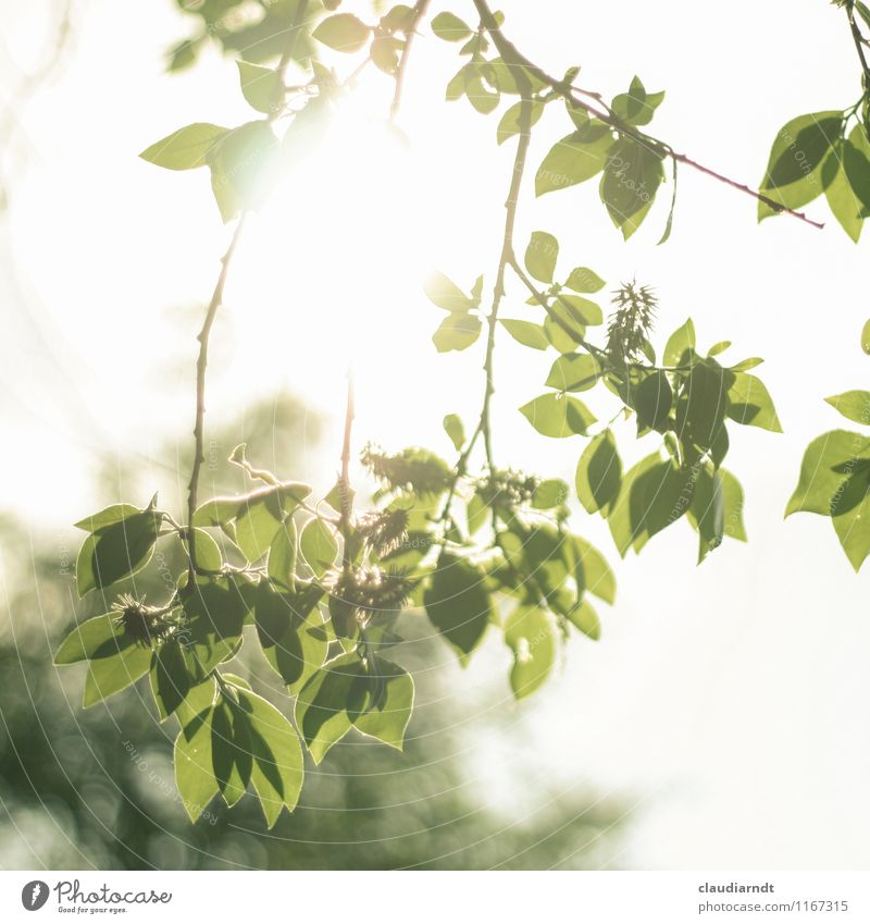 Sky Nature Plant Green Summer Sun Tree Leaf Environment Bright Beautiful weather Flashy Twigs and branches Translucent