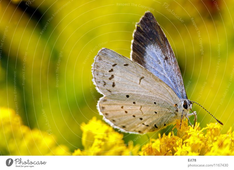 Blue-faced Blue Tree Animal Butterfly 1 Contentment Joie de vivre (Vitality) Spring fever Polyommatinae Solidago canadensis Lycaenidea butterflies Colour photo