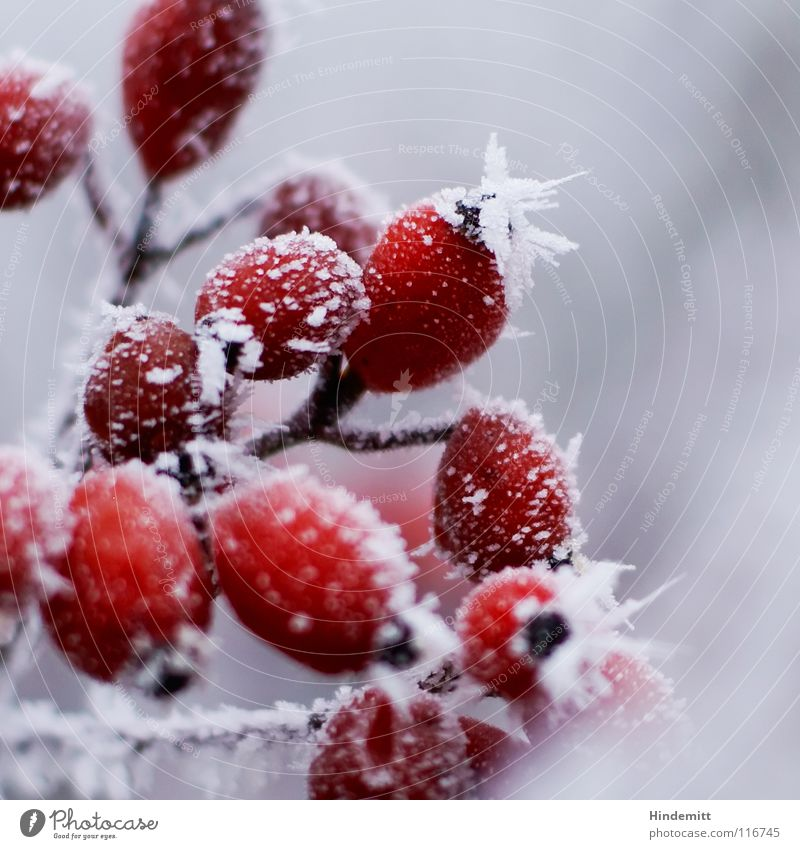 Beautiful White Red Winter Black Colour Life Cold Snow Autumn Gray Flower Bright Fog Fruit Rose