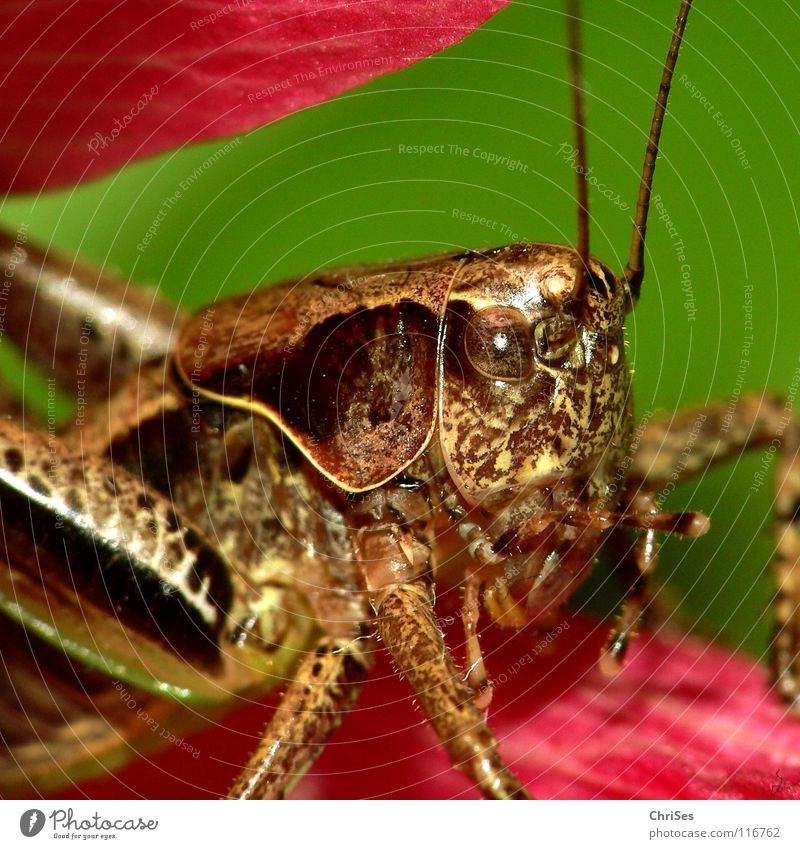 Green Summer Animal Eyes Jump Brown Pink Insect Living thing Feeler Locust Normal Northern Forest House cricket