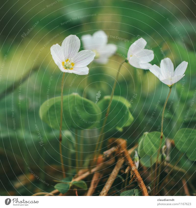 wood sorrel Environment Nature Plant Spring Flower Blossom Wild plant Common wood sorrel Clover Cloverleaf Clover blossom Forest Blossoming Green White Delicate