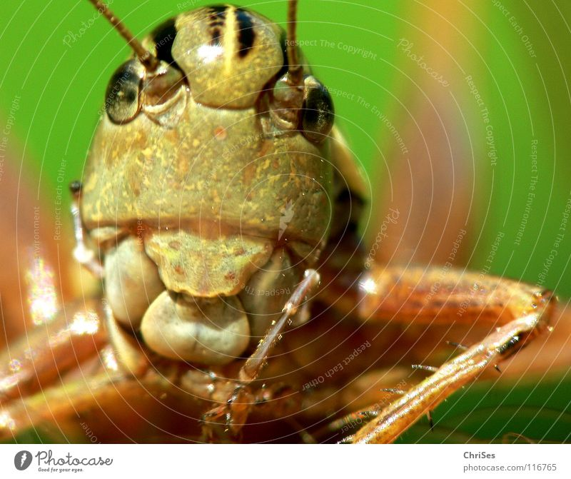 Green Summer Animal Eyes Jump Brown Insect Living thing Feeler Locust Normal Northern Forest House cricket