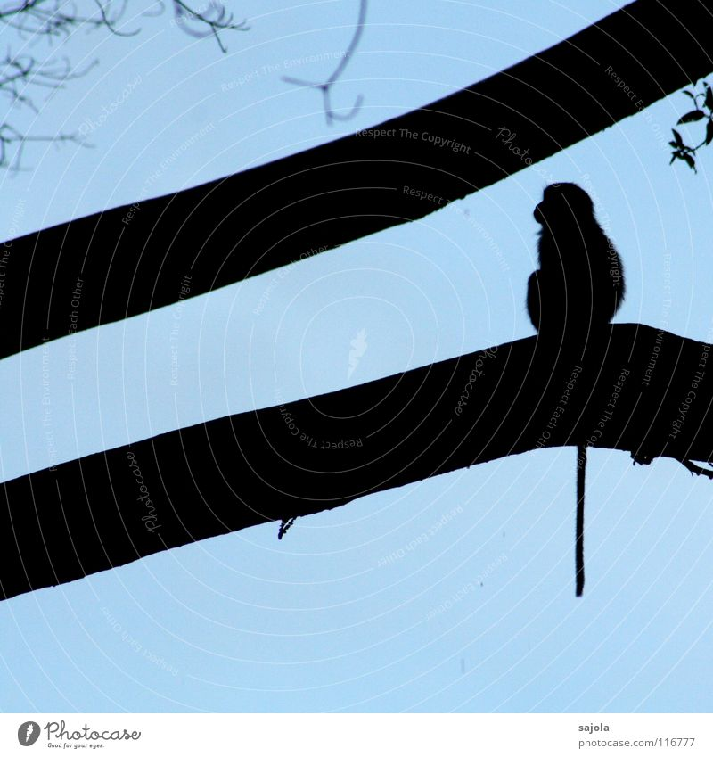 Sky Blue Tree Animal Black Wild animal Sit Animal face Long Asia Virgin forest Dusk Mammal Tails Monkeys Branchage
