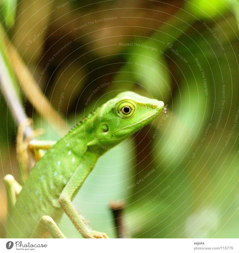green lizard Virgin forest Animal Wild animal 1 To hold on Green Lizards Eyes Insect Mosquitos Borneo Muzzle Camouflage colour Asia Reptiles Renewal Renewable