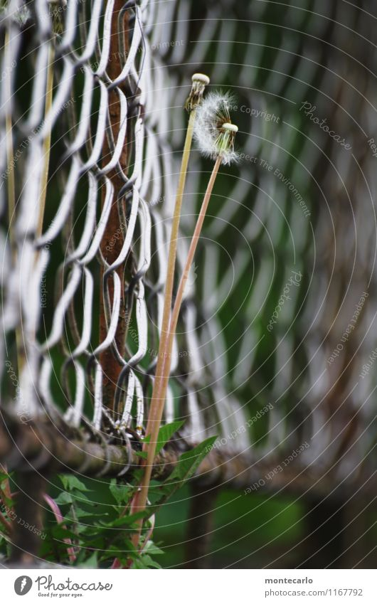 Ephemeral Environment Nature Plant Spring Flower Foliage plant Wild plant Dandelion Fence Wire netting fence Metal Old Thin Authentic Simple Tall Broken Long