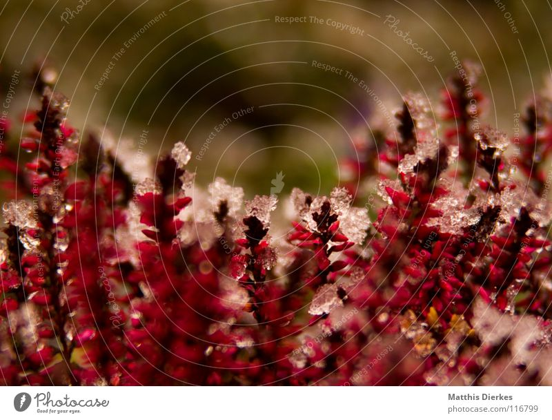 heathland Winter Ice Plant Red Pink Background picture Flowerbed Blur Selective Motionless Cemetery Endurance Cold Freeze Icicle December Spring Stalk Blossom