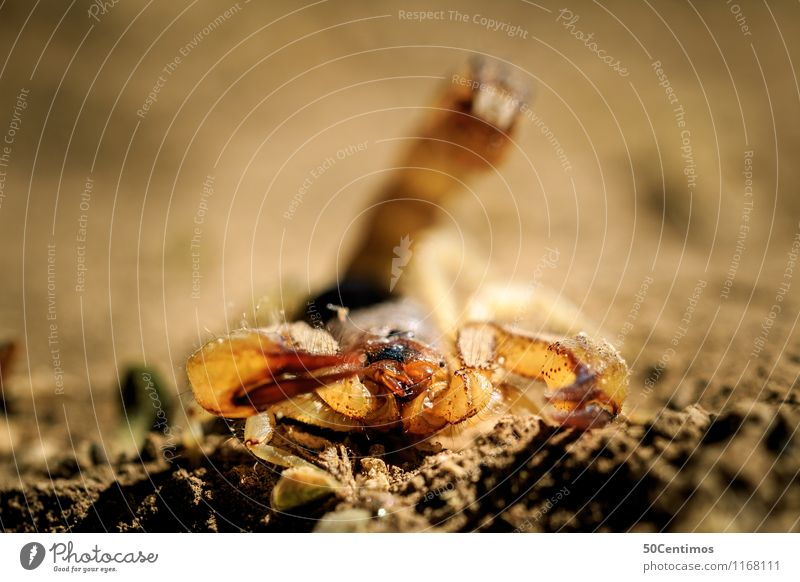 The scorpion in attack position Desert Wild animal Scorpion 1 Animal Fight Death Survive Earth Speed Poison Dangerous Colour photo Subdued colour Exterior shot