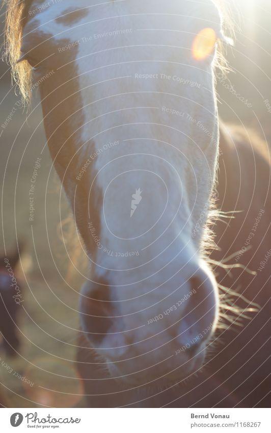 horse Hair and hairstyles Sun Animal Pelt Horse Friendliness Near Curiosity Brown Nostril Eyes Aperture Eyelash Nostrils Colour photo Exterior shot Close-up