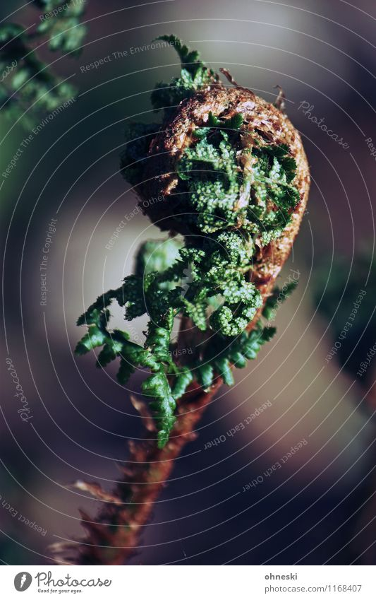 fern Plant Fern Leaf Foliage plant Wild plant Forest Growth Natural Green Beginning Colour photo Exterior shot Close-up Structures and shapes Copy Space right