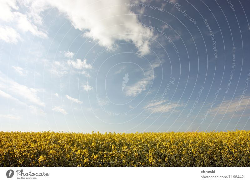 rapeseed Landscape Plant Spring Beautiful weather Canola field Field Blossoming Warmth Blue Yellow Joie de vivre (Vitality) Spring fever Freedom Environment