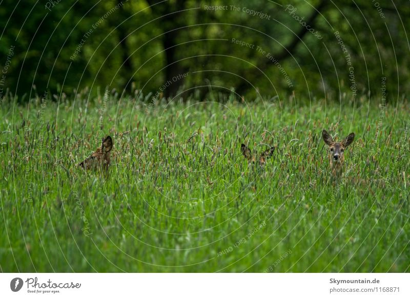 Deer in the grass 2 Environment Nature Landscape Plant Animal Spring Summer Grass Wild plant Meadow Field Forest Wild animal Roe deer Doe eyes 4