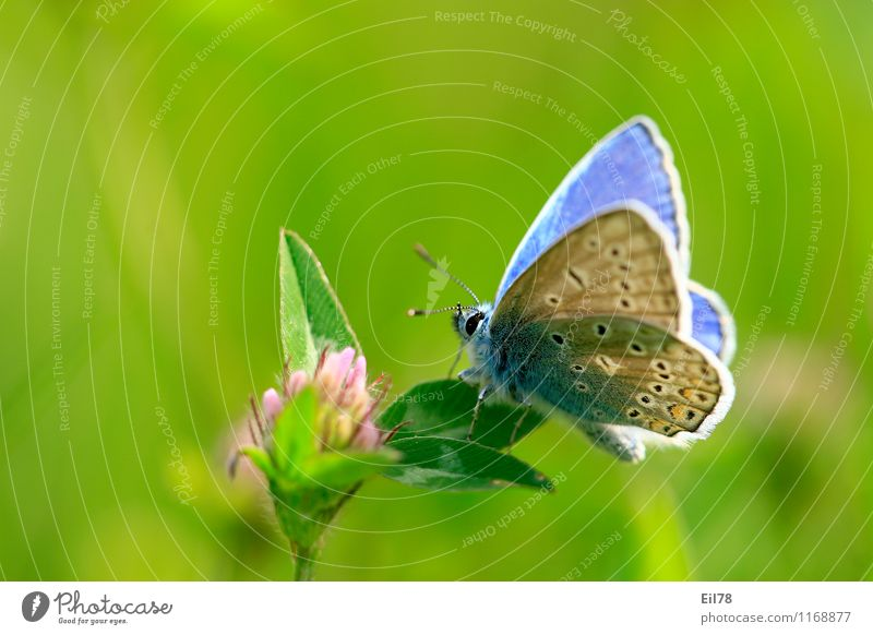 Blue Animal Blossom Butterfly To feed Spring fever Clover Nectar Sideways Common blue
