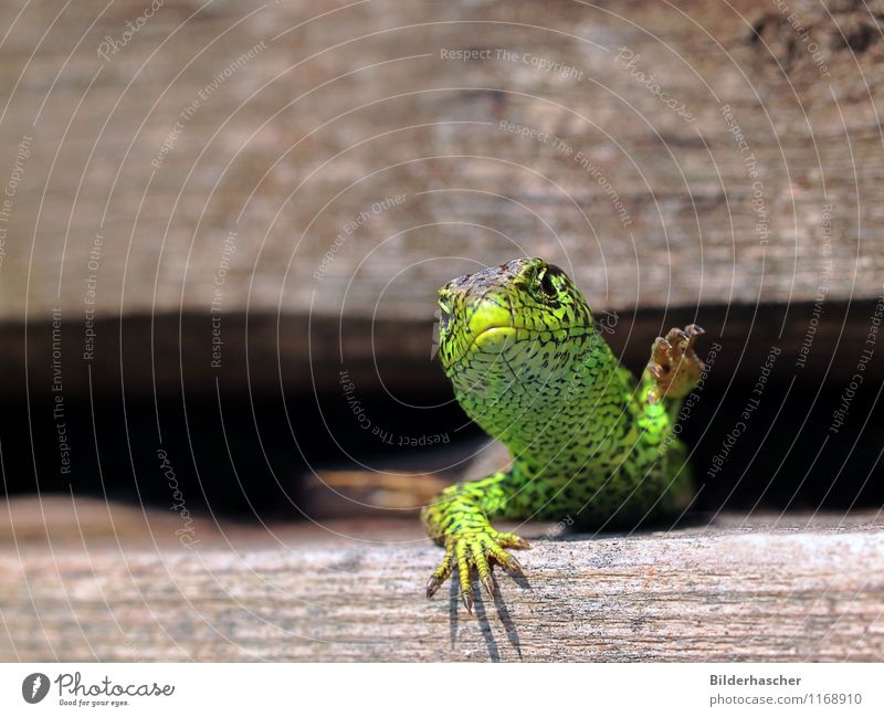 claw monster Sand lizard Lizards Saurians Reptiles Masculine Variable Sunbathing Close-up Rutting season Antlers Scales Hide Animal portrait Heat