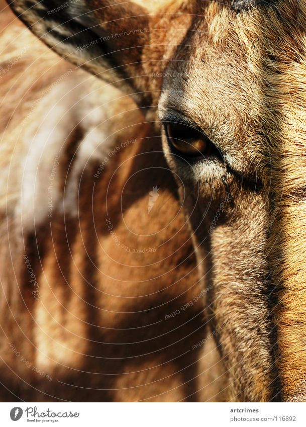 Nature Calm Animal Eyes Sadness Brown Stand Grief Ear Near Pelt Zoo Fence Depth of field Mammal Captured