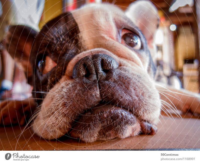 Bulldog - What a day Luxury Beautiful Living or residing Kitchen Animal Dog 1 To enjoy Listening Lie Looking Sleep Dream Wait Serene Calm Relaxation Freedom