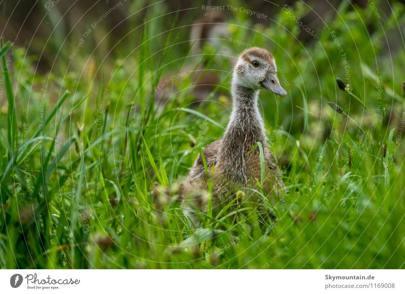 Nile Goose Young in Grass 8 Environment Nature Landscape Plant Animal Spring Meadow Field Lakeside River bank Wild animal Bird 1 Baby animal Discover Relaxation