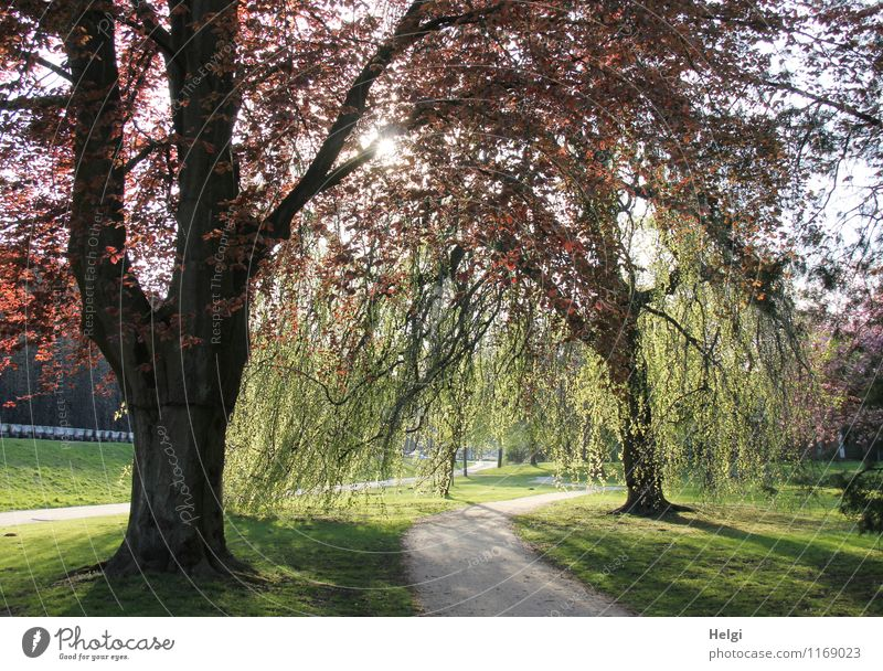 1100 Sunset in the park... Environment Nature Landscape Plant Spring Beautiful weather Tree Grass Beech tree Park Illuminate Stand Growth Esthetic Fresh Natural