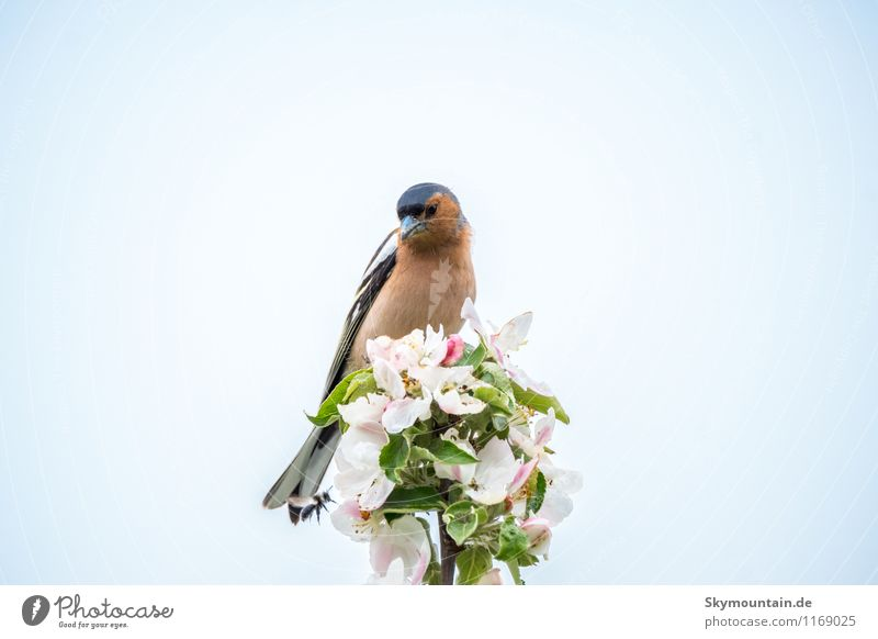 Bunting (Fringilla coelebs) on apple blossom 2 Environment Nature Landscape Plant Animal Cloudless sky Spring Beautiful weather Tree Leaf Blossom