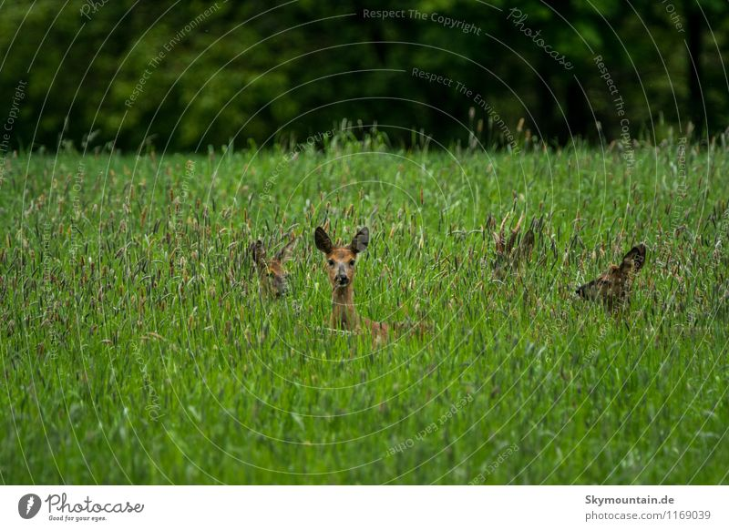 Deer in the grass Environment Nature Landscape Plant Animal Spring Summer Grass Wild plant Meadow Field Forest Wild animal Roe deer Doe eyes 4 Group of animals