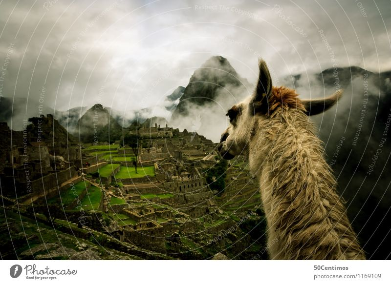 The lama on Machu Picchu Vacation & Travel Tourism Trip Adventure Far-off places Freedom City trip Mountain Hiking Environment Nature Landscape Clouds Meadow
