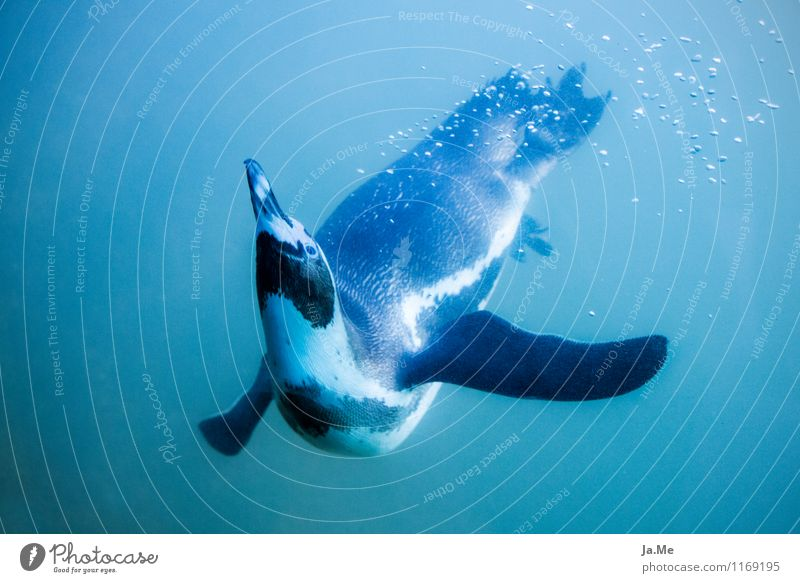 underwater ballet Environment Nature Animal Water Wild animal Bird Animal face Penguin 1 Swimming & Bathing Dance Dive Speed Blue Curiosity Underwater photo