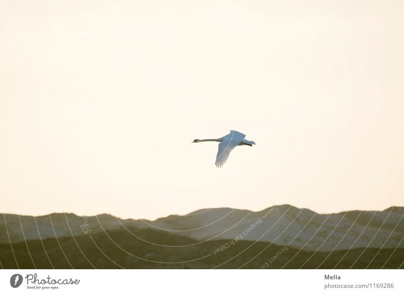 Swan Backlight Environment Nature Air Sky Hill Dune Animal Wild animal Bird 1 Flying Free Bright Natural Moody Freedom Ease Perspective Colour photo