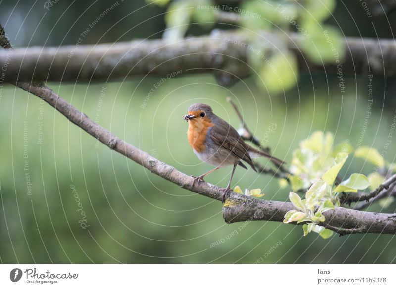 freshly caught l beaky Shows Nature Animal Bird 1 Observe Sit Responsibility Curiosity Robin redbreast Branch Exterior shot Deserted Copy Space bottom