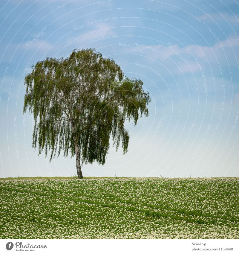 tree Environment Nature Landscape Plant Sky Clouds Spring Beautiful weather Tree Birch tree Potatoes Field Growth Blue Green Calm Agriculture Colour photo