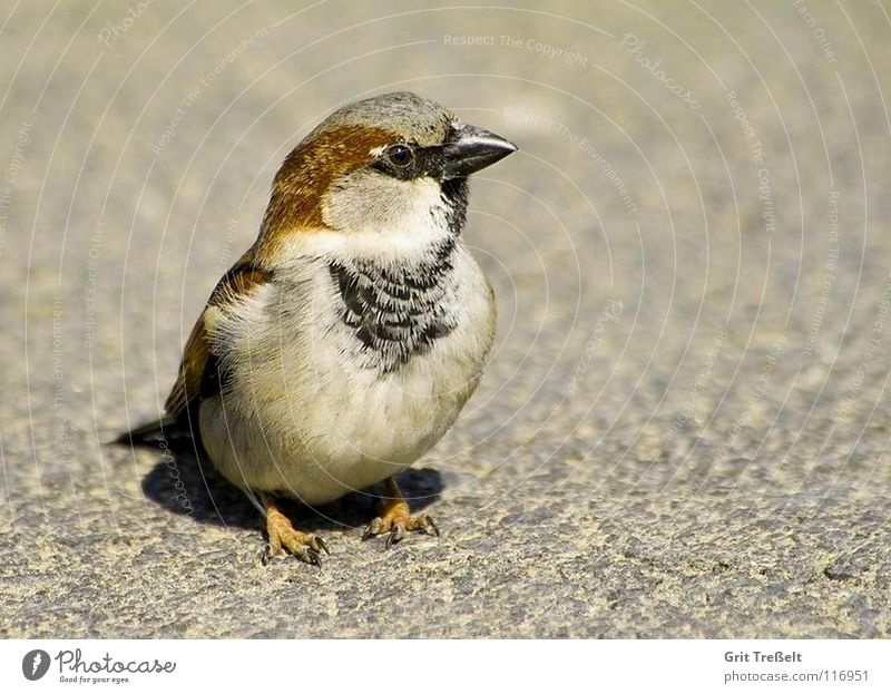 Bird Walking Sweet Feather Beak Hop Sparrow