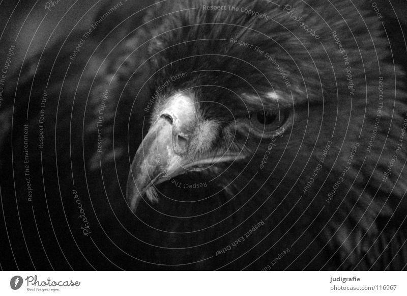 eagle Eagle Bird Bird of prey Beak Feather Ornithology Animal Beautiful Black White Black & white photo steppe eagle Pride Looking