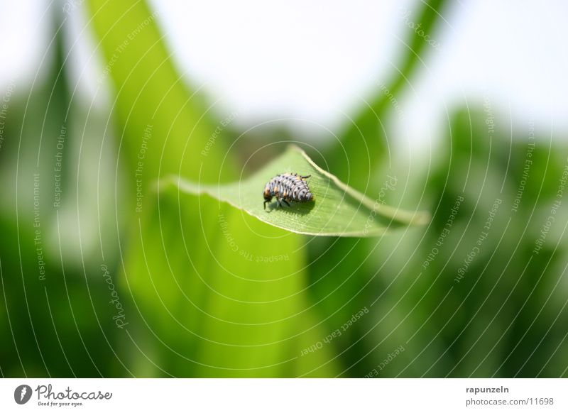Small animal without name Field Leaf Insect Larva Maize Nature little animal crab ladybird larva Beetle