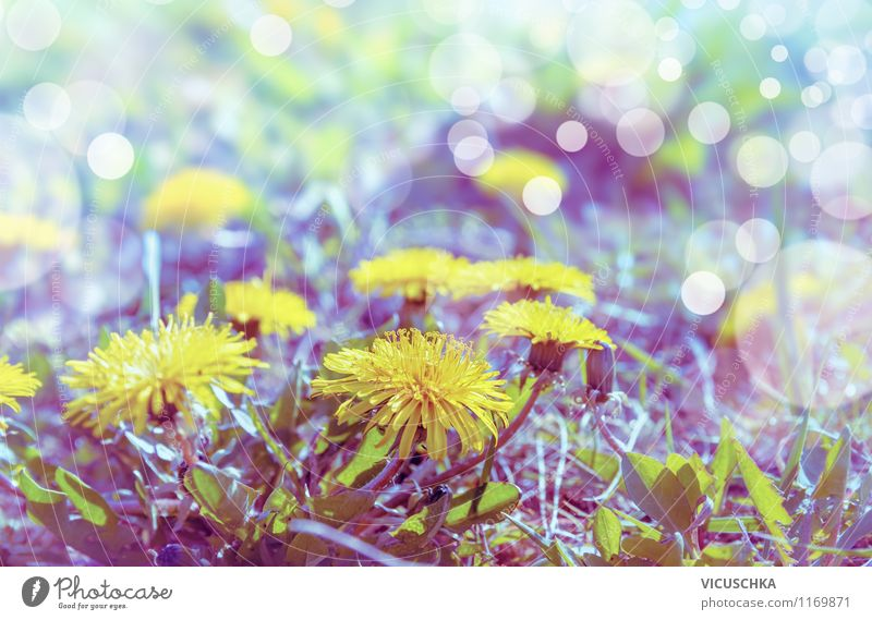Dandelion in morning light Lifestyle Style Design Summer Garden Environment Nature Plant Sunlight Spring Beautiful weather Flower Blossom Park Meadow Retro