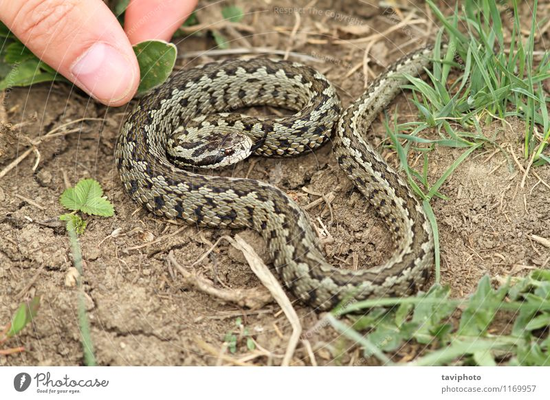 risky hand approach to a venomous viper Human being Man Colour Hand Animal Adults Life Meadow Fear Wild Skin Dangerous Fingers Reptiles Snake Approach