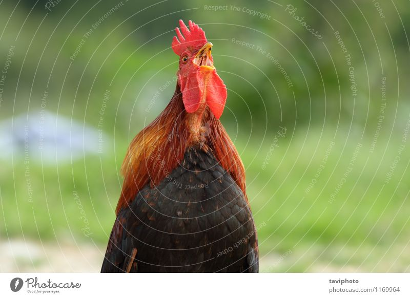 rooster singing in the morning Beautiful Clock Man Adults Nature Animal Bird Stand Natural Brown Green Red Black Pride Rooster background wake Farm Crest