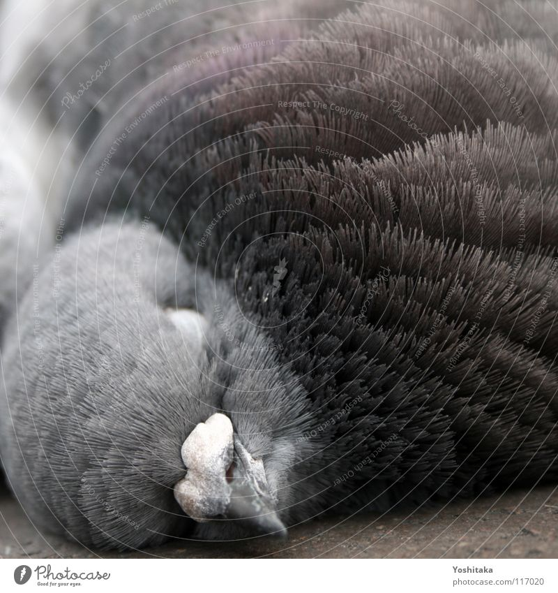midday nap Pigeon Bird Feather Calm Beak Animal Transience dove Peace Peaceful Death Floor covering Street Life Beautiful freedom there