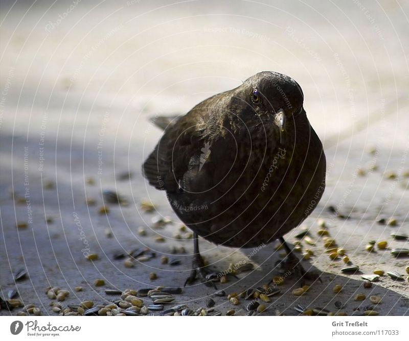 blackbird Blackbird Bird Beak Summer Feather Legs