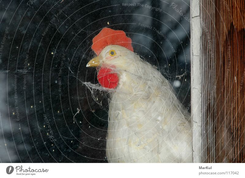 Chicken at the window Barn fowl Window Vantage point Animal Farm Agriculture Bird structure view outside