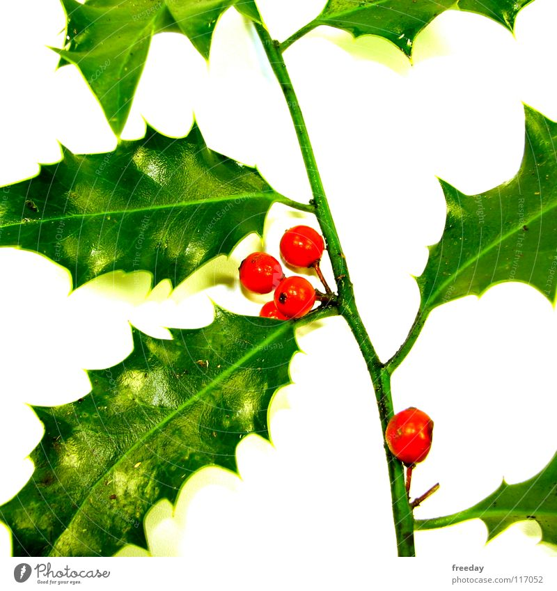 ::: Ilex ::: Triangle Leaf Green Thorny Light Tree Photosynthesis Environment Deities Pattern Bright green Zigzag Bushes Easygoing Serene 4 Red Round Dangerous