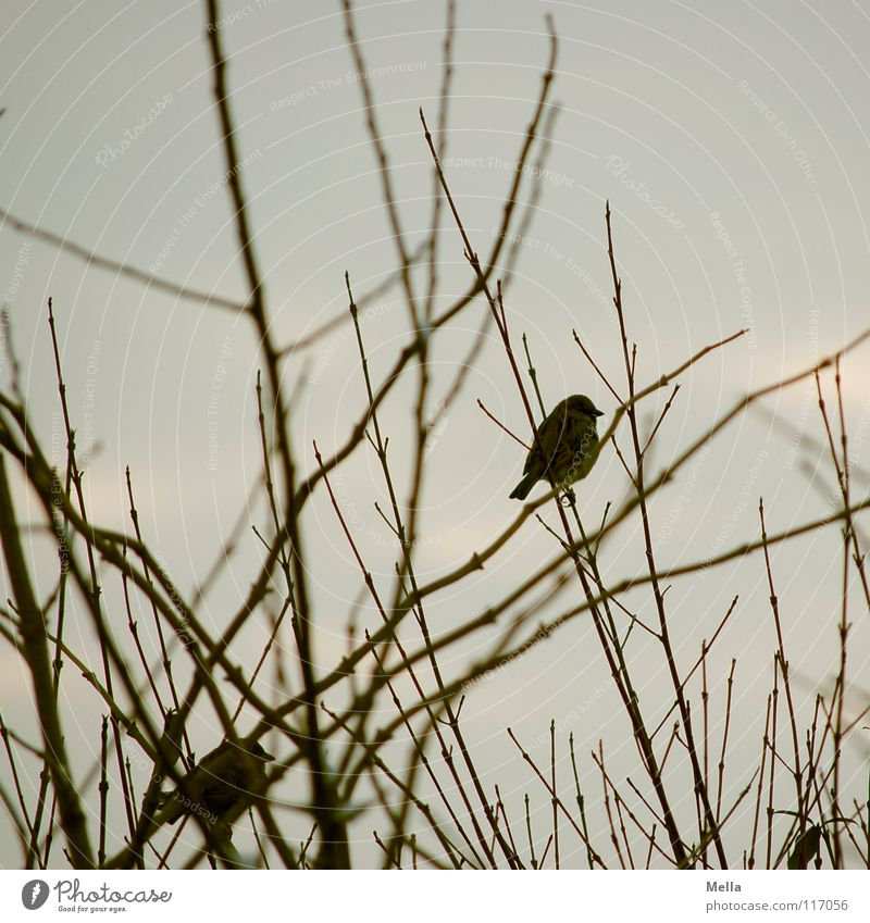 Sparrow winter II Bird Small 2 Together Matrimony Tree Bushes Gloomy Empty Leafless Lack Cold Loneliness Gray Colorless Silver lining Horizon Desire Hope Grief