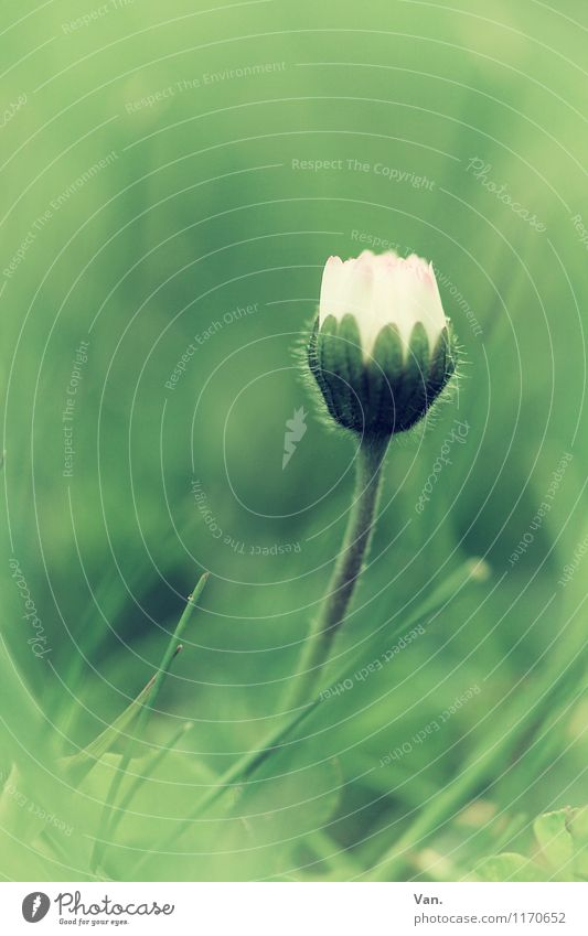 florid Nature Plant Spring Flower Grass Blossom Daisy Garden Meadow Growth Green White Colour photo Subdued colour Exterior shot Close-up