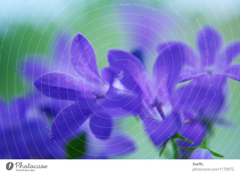 blue-violet Campanula Bluebell Campanula persicifolia Wildflowers Forest plants purple flowers blooming summer flowers blue flowers blossoming flowers