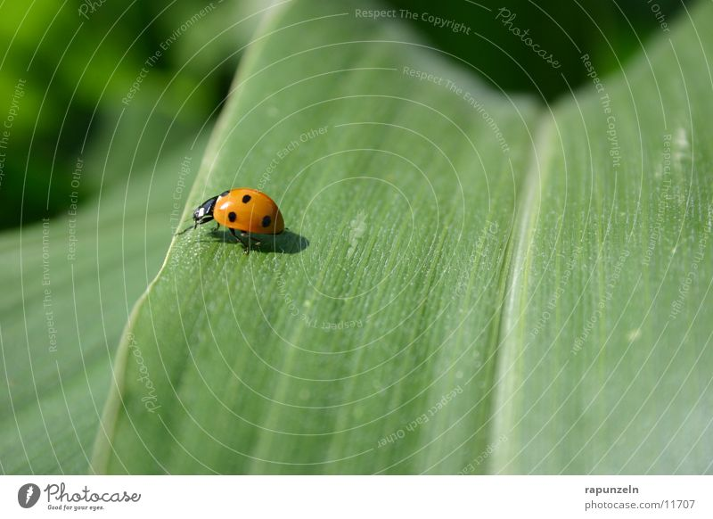 bug Leaf Field Green Ladybird Insect Maize Beetle